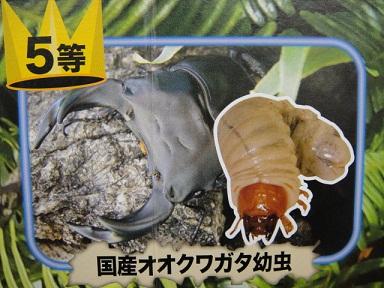 国産 オオクワガタ 幼虫