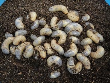 カブトムシ 幼虫 20120514 02
