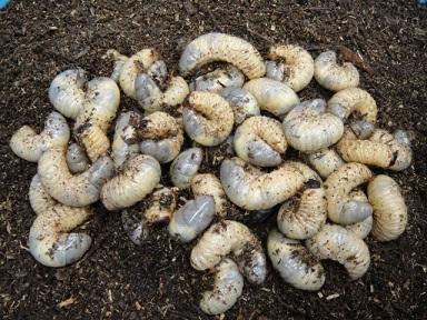 カブトムシ 幼虫 20120514 01
