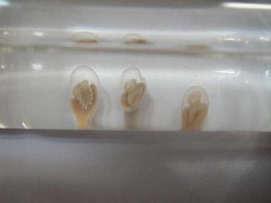 カブトガニ J 20120523 回転卵 01