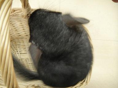 チンチラ (グレー) 男の子 02 20120518
