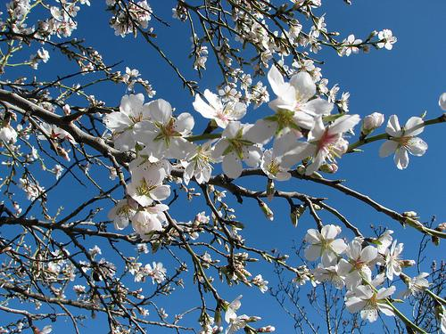 almond-tree-flowers[1]