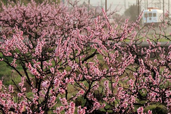 2011/4/10 和歌山電鐵貴志川線 大池遊園