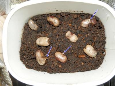 12月14日に1個の発芽、15日時点で3個が発芽