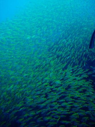 タオ島 ダイビング 魚 キンセンフエダイ