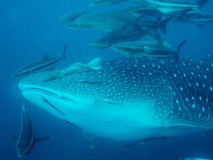 タオ島 ダイビング 魚 ジンベエザメ
