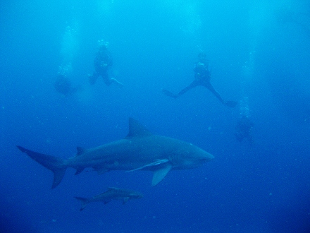 タオ島 ダイビング 魚 ブルシャーク