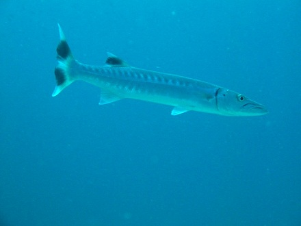 greatbarracuda