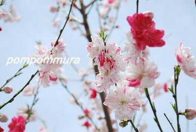 ハナモモ(源平桃)