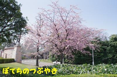 20120405 Land 桜