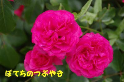 20120531 薔薇