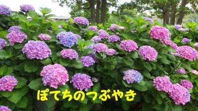 20120621 アジサイ