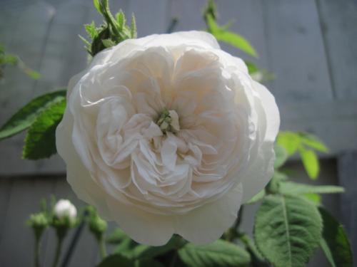 ロゼット咲き/花径8cm/半つる性/強香/一季咲き