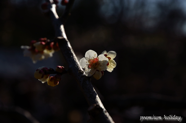 plum_1648_.jpg
