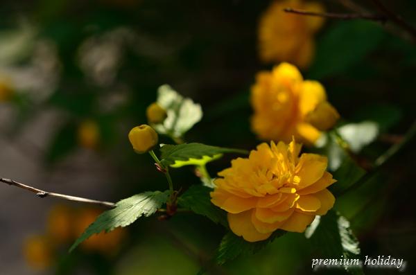 plum_2391_.jpg