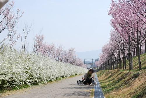桜とユキヤナギの通路で