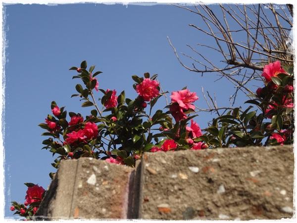 塀の上の山茶花