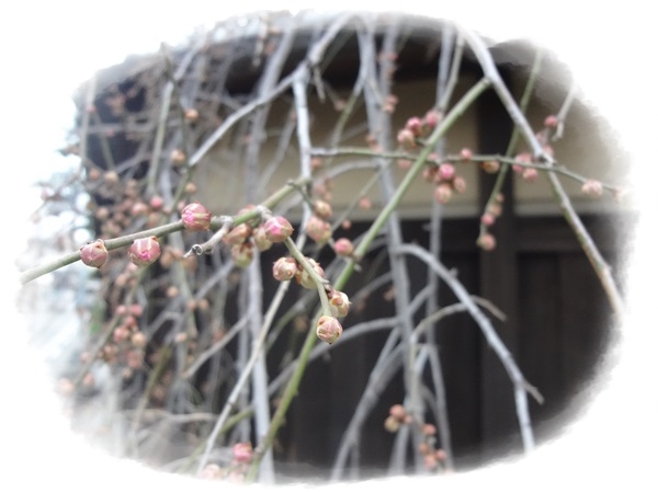枝垂れ梅つぼみ