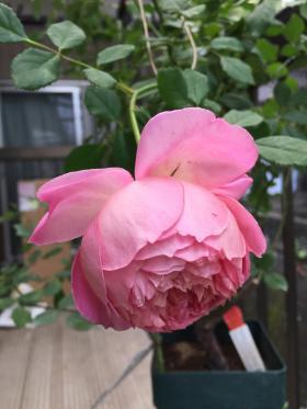 ジュビリー花