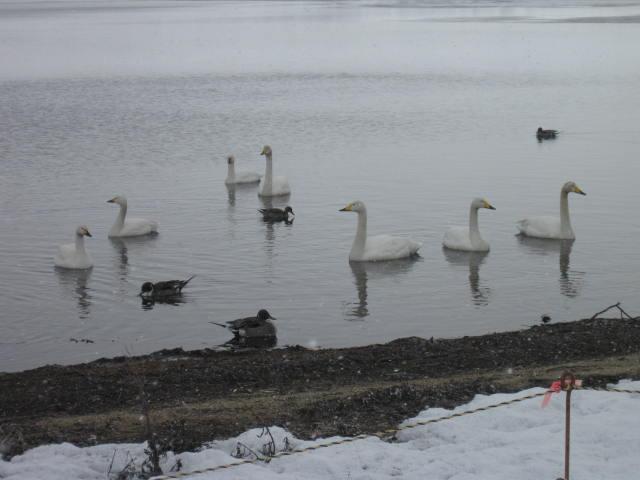 ウトナイ湖2012の2
