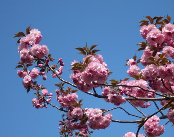 青空に映える八重桜