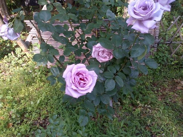 rose3 (800x600) (640x480)