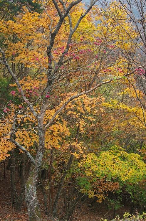 大札山の紅葉