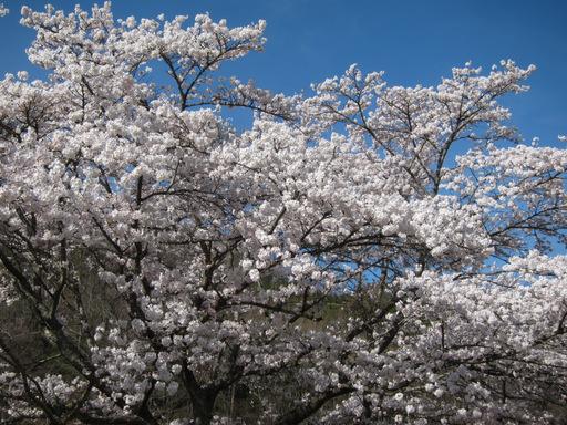 2012花見_003