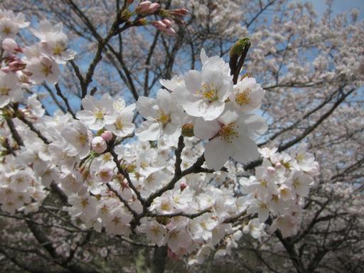 2012花見_002