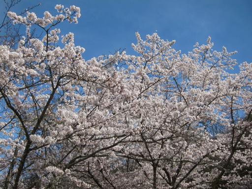 2012花見_001