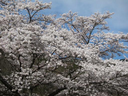 2012花見_012