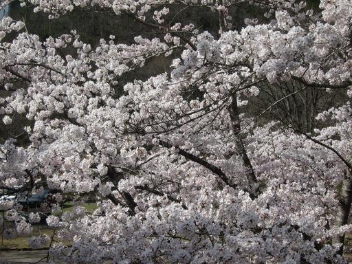 2012花見_008