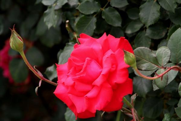 真っ赤なバラの花で埋め尽くして~