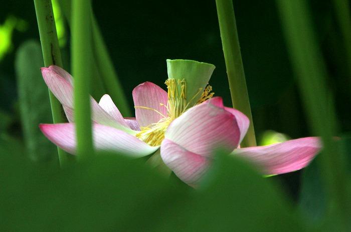 葉の中で咲くハス