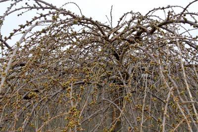 我が家の枝垂れ桜