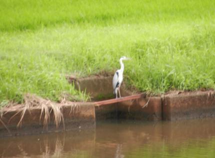 宍道湖の白鷺