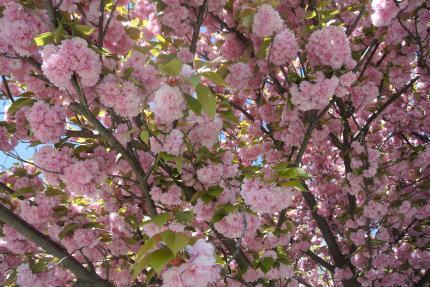 ハドソン川の八重桜