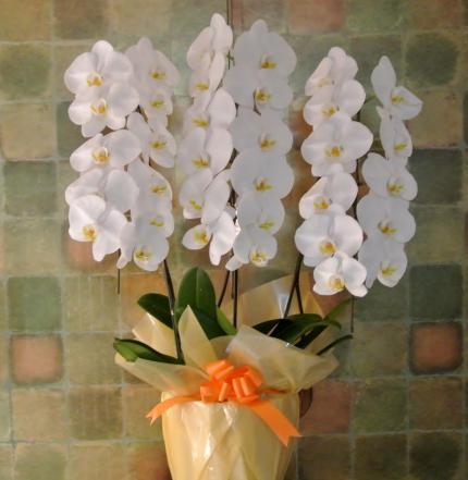母の日の胡蝶蘭