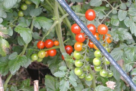 我が家のトマト