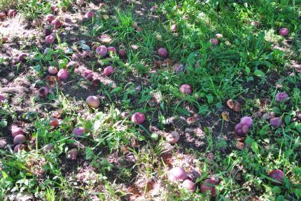 落ちたリンゴ