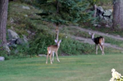 我が家の庭に遣って来る鹿
