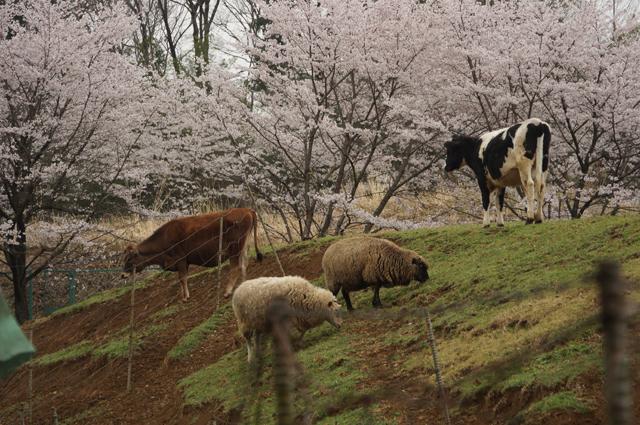 牛と羊と桜と 磯沼牧場