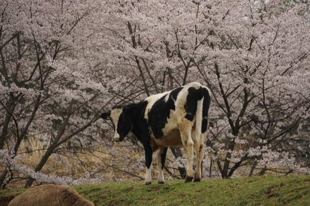 牛さんと桜