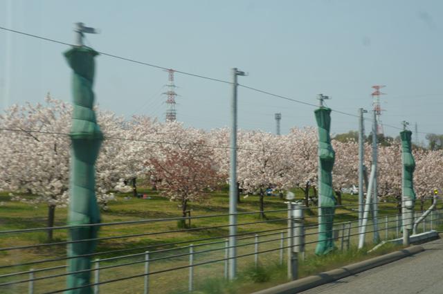 千曲川沿いの桜並木を上信越道より眺める