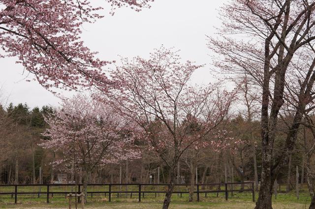 二十間道路の咲きかけた桜