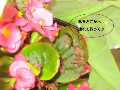 卒園式毛虫