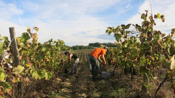 ガヤックブドウ収穫3384