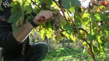 ガヤックブドウ収穫3395