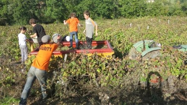 ガヤックブドウ収穫3400