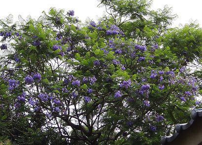 東ジャカランダの花咲く寺-4